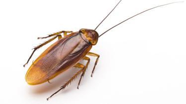 97777879_cockroach.jpg