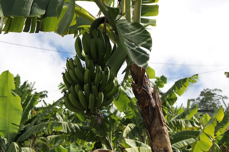 Bananeraie-.jpg